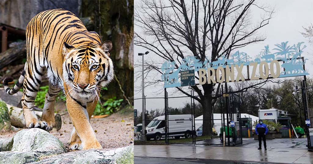 कोरोना वायरस, bronx-zoo-in-new-york -tiger-tests-positive-for--coronavirus, Covid-19